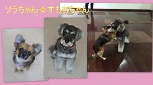 ソラちゃん(チワワ)&すももちゃん(ミニチュア・シュナウザー)