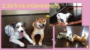 エコルちゃん(オーストラリアン・シェパード)&Geronimoくん(柴)