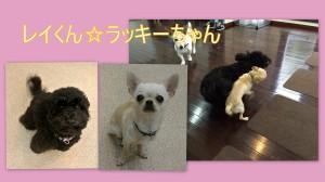レイくん(MIX)&ラッキーちゃん(チワワ)
